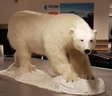 am Gepäckband der erste Eisbär