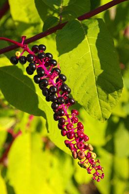 Fruchtstände an einem Zweig