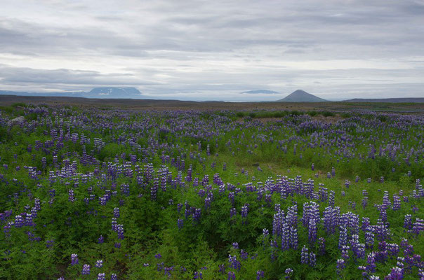 und dann wieder im Tal, mit Lupinenfeldern
