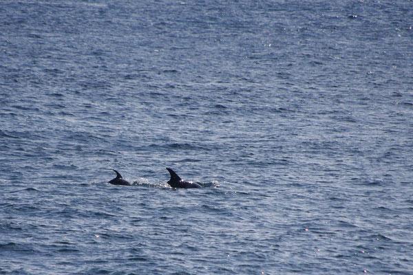 und da tauchen noch ein paar Kleinwale auf