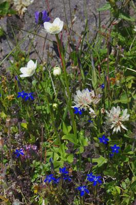bunte isländische Wildsommerblumenmischung