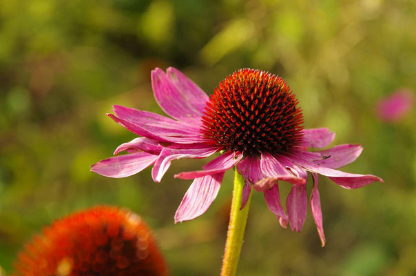 Echinacea, Sonnenhut