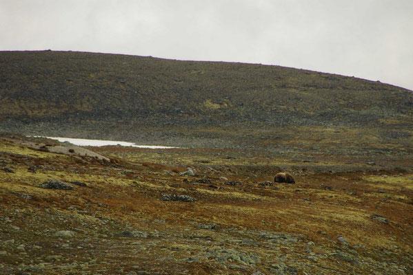 ein einsamer Moschusochse im Gelände
