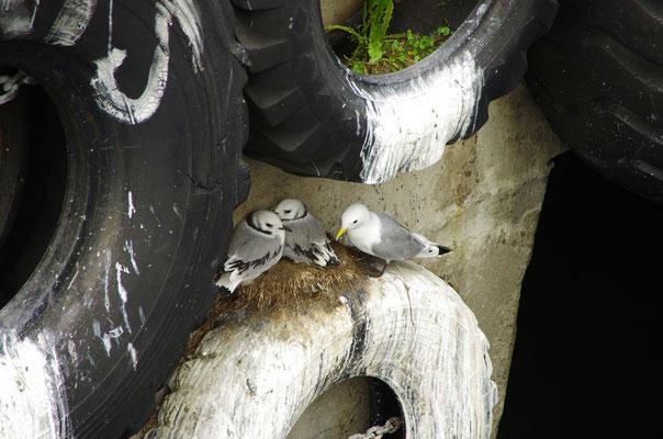 Möwen nisten auch überall - das Schiff legt direkt am Nest an