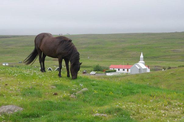 eines der Islandpferde