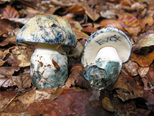 Kornblumenröhrling, Gyroporus cyanescens