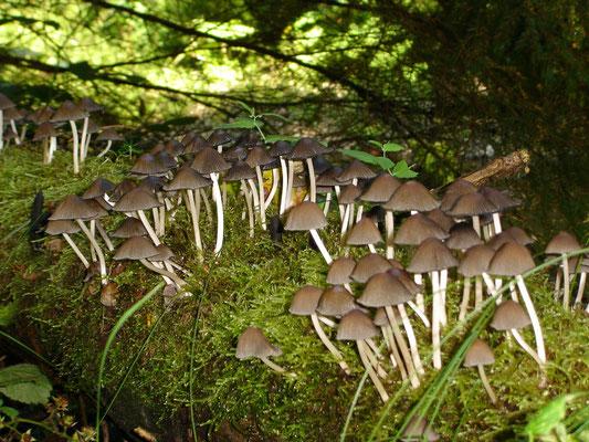 Weisstieliges Stockschwämmchen, Psathyrella piluliformis,