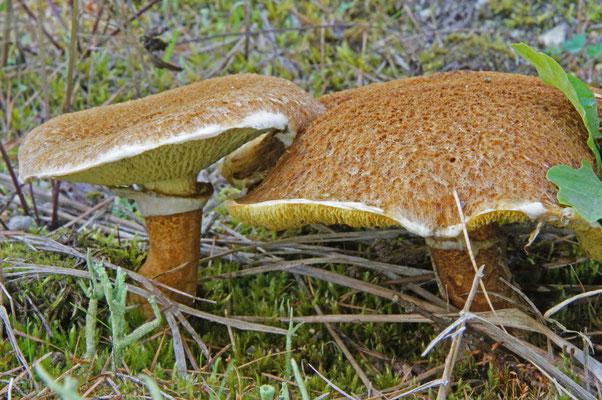 Hohlfußröhrling, Boletinus cavipes, selten aber auch wenn vorkommend Massenpilz - Tagebauhalden, Lebensgemeinschaft mit Lärchen