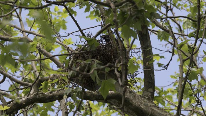 Junge Saatkrähe im Nest 1. Juni 2017