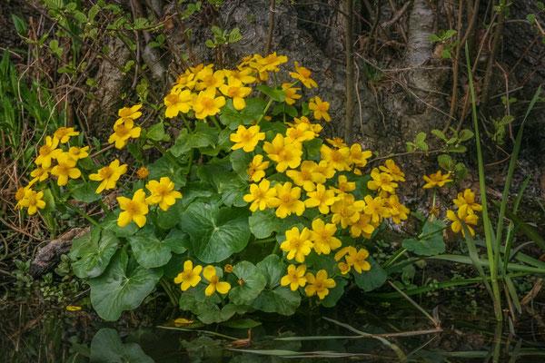 Sumpfdotterblume im Biosphärenreservat Spreewald