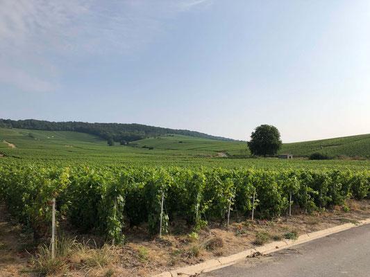 Weinanbau in der Champagne