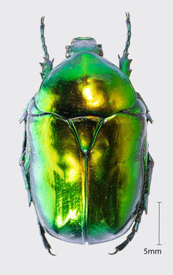 Protaetia aeruginosa (Linnaeus, 1767) | Großer Goldkäfer