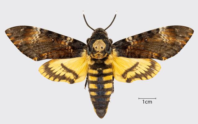 Acherontia atropos (Linnaeus, 1758)   Totenkopfschwärmer