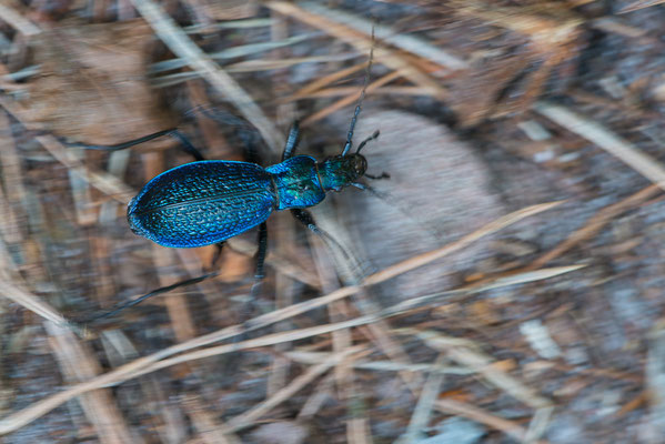 Dunkelblauer Laufkäfer - Carabus intricatus - blue ground beetle