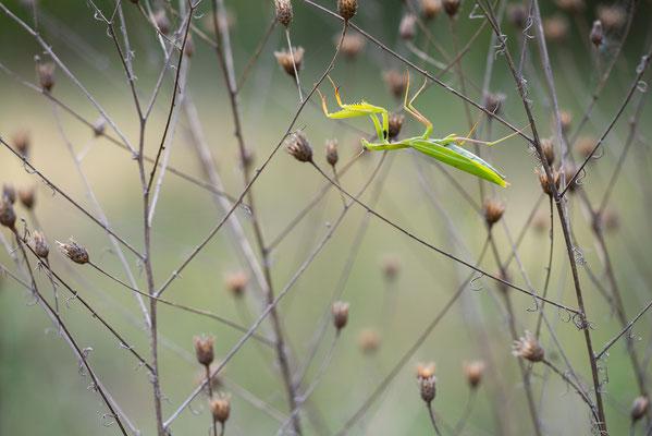 Europäische Gottesanbeterin - Mantis religiosa - praying mantis