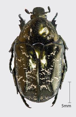 Protaetia lugubris (Herbst, 1786)   Marmorierter Rosenkäfer