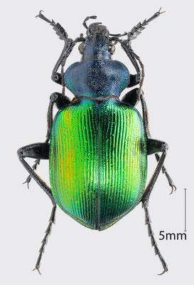 Calosoma sycophanta (Linnaeus, 1758) | Großer Puppenräuber