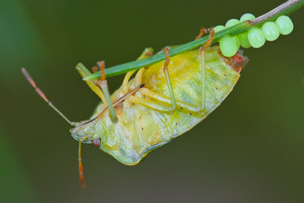 Grüne Stinkwanze - Palomena prasina - Green shield bug
