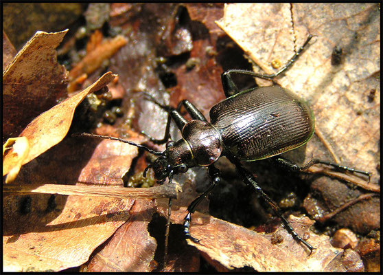 Kleiner Puppenräuber - Calosoma inquisitor - lesser searcher beetle / caterpillar-hunter