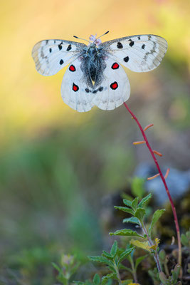 Roter Apollo - Parnassius apollo - Apollo