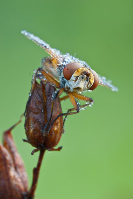 Raupenfliege - Ectophasia sp. (Tachinidae)