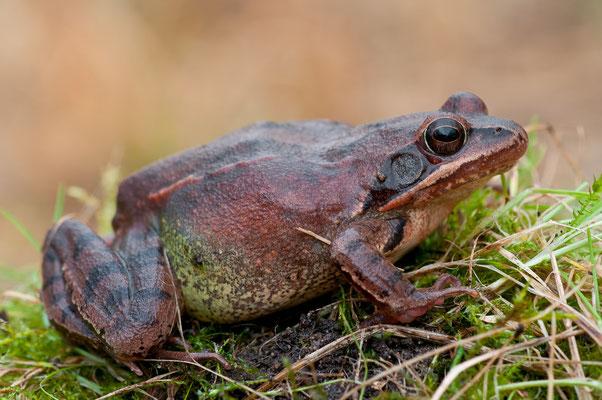 Springfrosch - Rana dalmatina - Agile frog