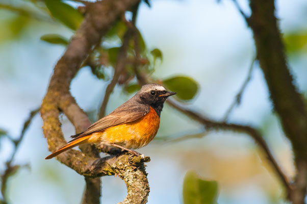 Gartenrotschwanz - Phoenicurus phoenicurus - common redstart