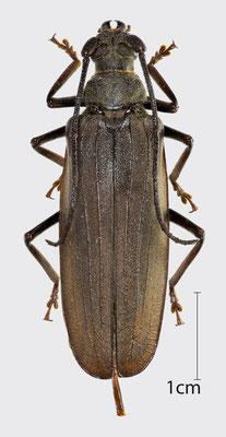 Aegosoma scabricorne (Scopoli, 1763)   Körnerbock (weiblich)