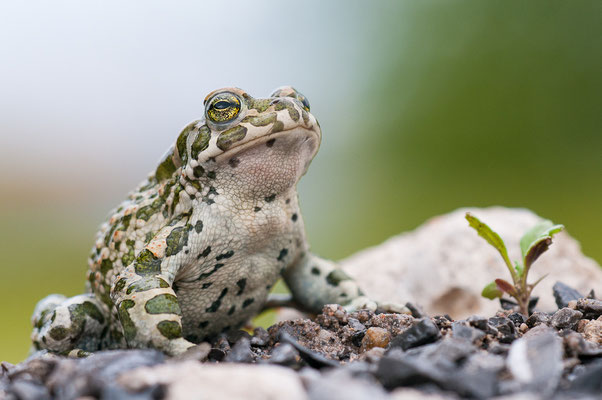 Wechselkröte - Bufo viridis - European green toad