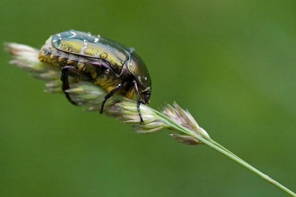 Kupferrosenkäfer - Protaetia cuprea -