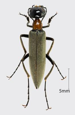 Meloidae sp.   unbestimmter Ölkäfer aus Mali