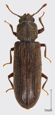 Lyctus cavicollis LeConte, 1866 | Grubenhalsiger Splintholzkäfer