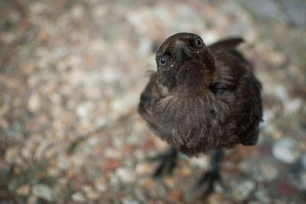 Dohle - Corvus monedula - western jackdaw