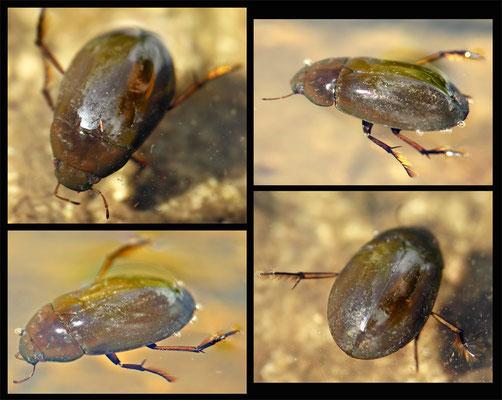 Hydrochara caraboides - Kleiner Kolbenwasserkäfer - lesser silver water beetle