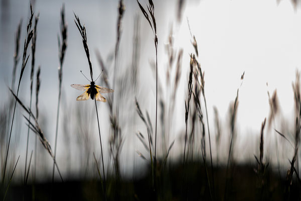 Libellen-Schmetterlingshaft - Libelloides coccajus - owly sulphur