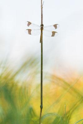 Gebänderte Heidelibelle - Sympetrum pedemontanum - banded darter