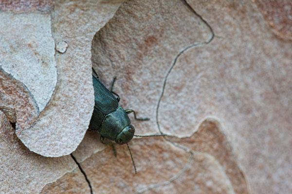 Blauer Kiefernprachtkäfer - Phaenops cyanea