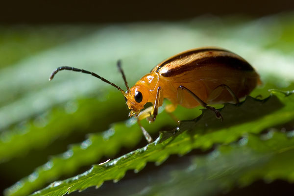 Australischer Blattkäfer - Chrysomelidae - australian leaf beetle