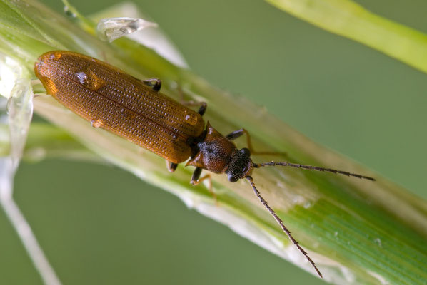 Denticollis linearis (ein Schnellkäfer / click beetle)