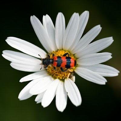 Gemeiner Bienenkäfer - Trichodes apiarius