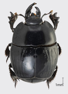 Pachylister inaequalis (Olivier, 1789) | Stutzkäfer