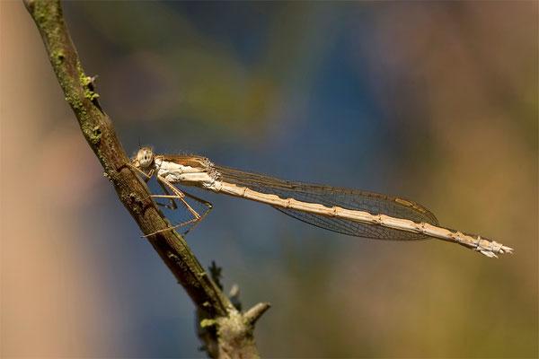 Gemeine Winterlibelle - Sympecma fusca - common winter damselfly