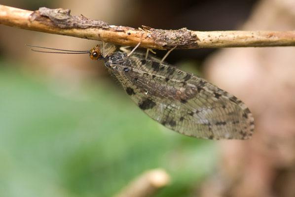 Europäische Bachhaft - Osmylus fulvicephalus