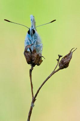 Hauhechel-Bläuling - Polyommatus icarus - Common blue