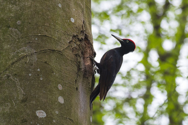 Schwarzspecht - Dryocopus martius - Black woodpecker