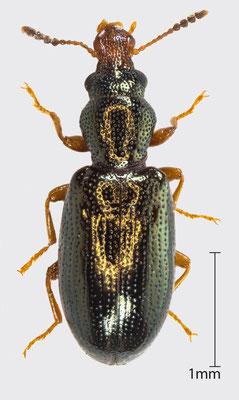 Salpingus planirostris (Fabricius, 1787)   Gemeiner Scheinrüssler