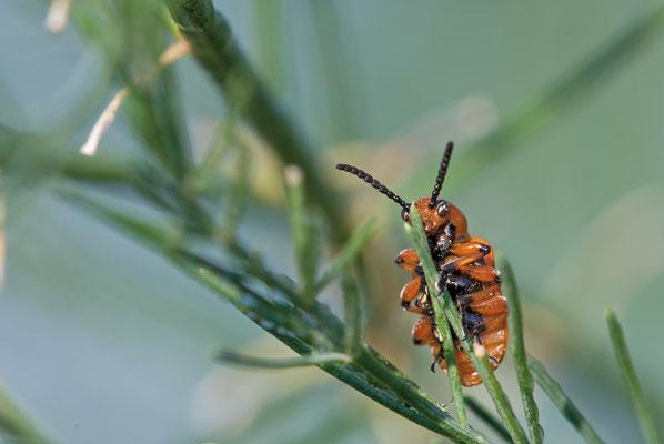Zwölfpunkt-Spargelkäfer - Crioceris duodecimpunctata - Spotted Asparagus Beetle