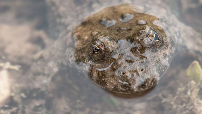 Gelbbauchunke - Bombina variegata - yellow-bellied toad