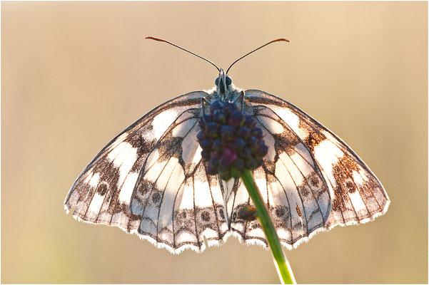 Schachbrettfalter - Melanargia galathea - marbled white