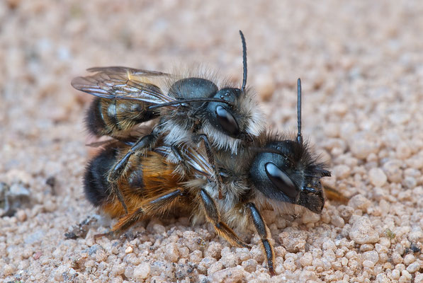 Rote Mauerbiene - Osmia bicornis - Red Mason bee